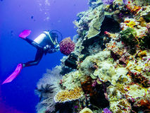 Diver at the corals. Diver at the colorfull corals royalty free stock photos