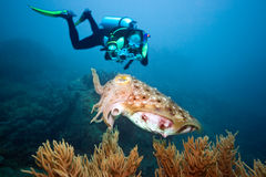 Diver and cuttlefish Royalty Free Stock Photography