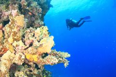 Diver - girl underwater. Diver dressed up into wetsuit, fins and BCD scuba diving in sea swimming around hard corals on coral reef in clear blue waters of Red stock photos