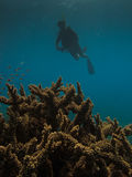 Diver and Elk Horn Coral  at Great Barrier Reef Stock Photo