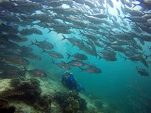 Diver facing a big shoal of fish Royalty Free Stock Photos