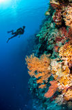 Diver, feather black coral in Banda, Indonesia underwater photo Stock Image