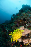 Diver, feather star, sponge in Ambon, Maluku, Indonesia underwater photo Stock Images