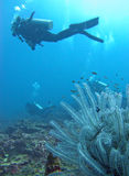 Diver and feather star Royalty Free Stock Photo