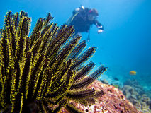 Diver and feather star Stock Photos