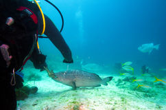 Diver, feeding big grouper with lobster, Cuba Royalty Free Stock Images