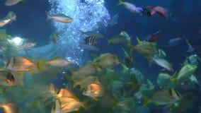 Diver feeding fish in aquarium stock video footage