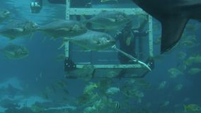 Diver feeding fish and sharks in Gold Coast Australia stock footage