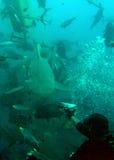 Diver feeding a shark Royalty Free Stock Photos