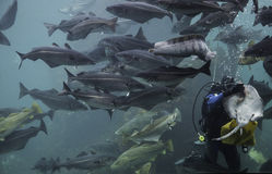 Diver and Fishes Royalty Free Stock Photo