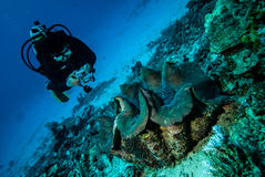 Diver and giant clamp n Derawan, Kalimantan, Indonesia underwater photo Stock Images