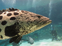 Diver, Giant Potato Cod (Epinephelus tukula) Stock Photography