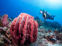 Diver and giant sponge. Female SCUBA diver on a coral reef with a giant ref sponge Stock Photo
