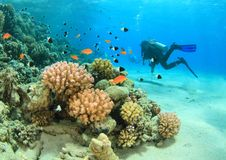Diver - girl underwater. Diver dressed up into wetsuit and BCD scuba diving in clear blue sea swimming by hard corals on coral reef with plenty of fishes in Red royalty free stock photo