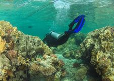 Diver - girl underwater. Diver dressed up into wetsuit and BCD scuba diving in sea swimming among hard corals on coral reef in Red Sea in Marsa Alam, Egypt royalty free stock image