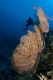 Diver with gorgonia Royalty Free Stock Photo