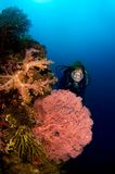 Diver and Gorgonia coral Indonesia Sulawesi. Woman diver behind big gorgonia and soft coral. Indonesia Sulawesi Lembehstreet Royalty Free Stock Image