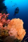 Diver and Gorgonia coral Indonesia Sulawesi. Woman diver above big gorgonia and soft coral. Indonesia Sulawesi Lembehstreet Stock Images