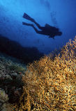 Diver and Gorgonian. Diver silhouetted in background with large yellow gorgonian in foreground stock photography