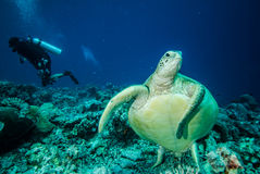 Diver and green sea turtle Stock Photos