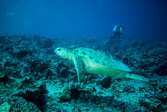 Diver and green sea turtle Stock Photo