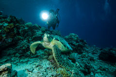 Diver and green sea turtle in Derawan, Kalimantan, Indonesia underwater photo Stock Photography