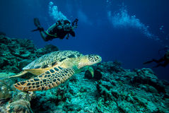 Diver and green sea turtle in Derawan, Kalimantan, Indonesia underwater photo Stock Images
