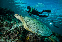Diver and green sea turtle in Derawan, Kalimantan, Indonesia underwater photo Stock Image