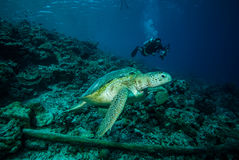 Diver and green sea turtle in Derawan, Kalimantan, Indonesia underwater photo Royalty Free Stock Photography