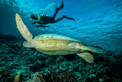 Diver and green sea turtle in Derawan, Kalimantan, Indonesia underwater photo Royalty Free Stock Images