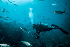 Diver and group of fishes in Derawan, Kalimantan, Indonesia underwater photo Stock Photography