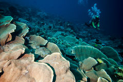 Diver and hard coral reefs in Derawan, Kalimantan, Indonesia underwater photo Stock Image