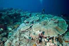 Diver and hard coral reefs in Derawan, Kalimantan, Indonesia underwater photo Stock Photo