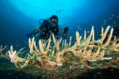 Diver. Hard coral with school of fish.Pacific ocean, Palau,Micronesia stock images