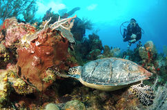 Diver and hawksbill sea turtle. Royalty Free Stock Image