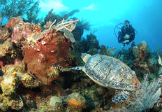 Diver and hawksbill sea turtle. Diver on dive looking at beautiful coral and hawksbill turtle Royalty Free Stock Photos
