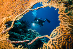Diver in the hole of sea fan in Derawan, Kalimantan, Indonesia underwater photo Royalty Free Stock Image