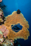 Diver in the hole of sea fan in Derawan, Kalimantan, Indonesia underwater photo Stock Photography