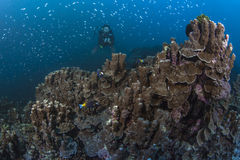 Diver hovers over large colony columnar coral. Royalty Free Stock Image