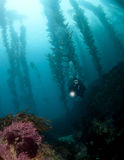 Diver in the Kelp in Catalina Stock Image