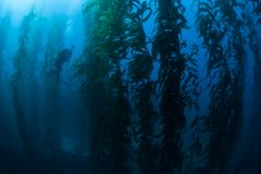 Diver in Kelp Forest. Giant kelp, Macrocystis pyrifera, grows in a thick, underwater forest near the Channel Islands in California. This area is part of a Stock Image