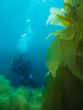 Diver and Kelp Royalty Free Stock Photos
