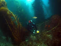 Diver in the Kelp taking pictures Stock Photography