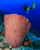 Diver and large barrel sponge. Female SCUBA diver near a large undersea barrel sponge on a tropical coral reef Royalty Free Stock Image