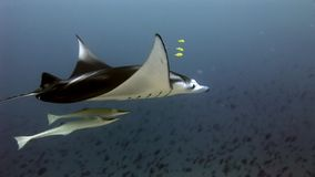 Diver and manta ray underwater in Maldives. Unique amazing video footage. Abyssal relax diving. Natural aquarium of sea and ocean. Beautiful animals stock video