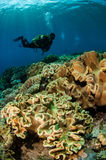 Diver and mushroom leather corals in Banda, Indonesia underwater photo Royalty Free Stock Images