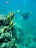 Diver near coral reef. A scuba diver with coral reef and fish Royalty Free Stock Images