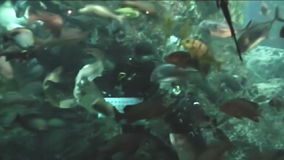 Diver in oceanarium feeding fish stock video footage