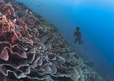 Diver over cabbage coral reef wall Stock Photo