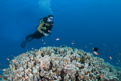 Diver over coral Royalty Free Stock Photography